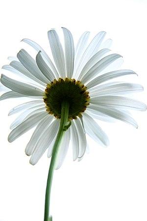 daisy from below
