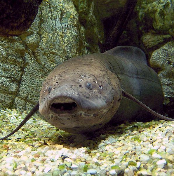 Protopterus annectens at Paris Aquarium by Mathae