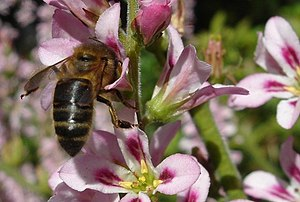 English: Honey bee on Francoa Honey bee from a...