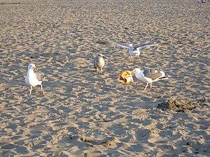 Western Gulls feeding on junk food remains at ...