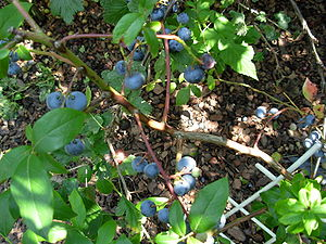 Some blueberries 2007 3