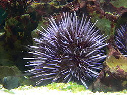 Sea urchin | Image: Wikipedia