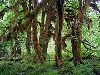 Acer macrophyllum en Hoh Rain Forest.jpg