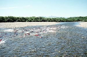 English: Spawning Salmon in Becharof Stream wi...