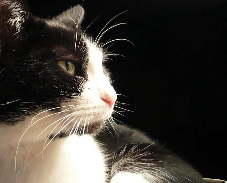 File:Black and white cat named Leafy-zenera-03.jpg