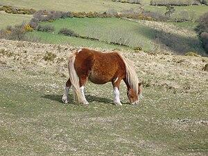 Dartmoor Hill pony on Hameldon on Dartmoor.