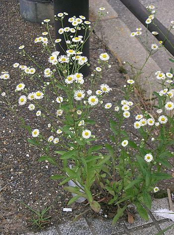WikijuniorSummer Flowers Of Northern New EnglandErigeron