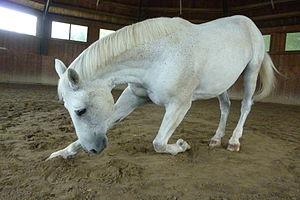 de: Pferd macht ein Kompliment (Zirkuslektion)