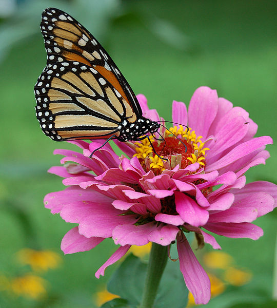 File:Monarch Butterfly Pink Zinnia 1800px.jpg