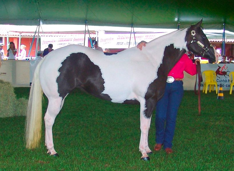 American Paint Horse   Wikipedia