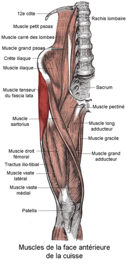 Muscle tenseur du fascia lata. Anatomie humaine