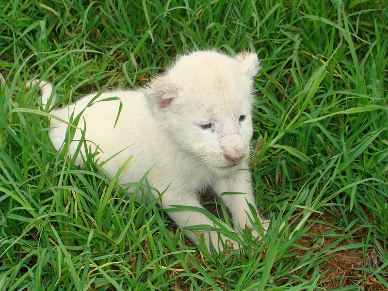 File:White lion cub.JPG