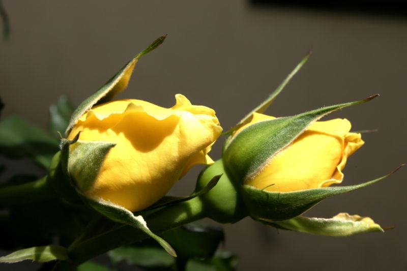 File:- Rosebuds -.jpg