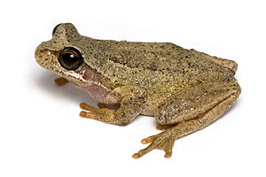 English: A Tasmanian Brown Tree Frog (Litoria ...