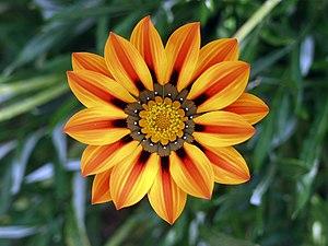 A bright orange Gazania flower in full bloom.