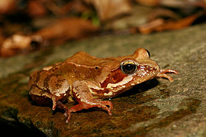 Common Frog (Rana temporaria). Photo taken nea...