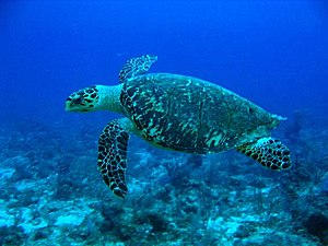 A hawksbill turtle (Eretmochelys imbricata) at...