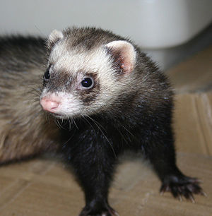 English: Sable short-hair ferret, jill, 1 1/2 ...