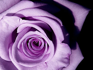 English: A purple rose in lavender shade Portu...