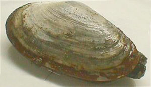 The common softshell was named Myes arenaria i...