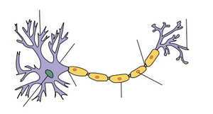 Diagram of neuron with arrows but no labels. M...