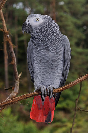 A Congo African Grey Parrot in Herborn Bird Pa...