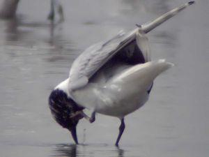 Saunders's Gull, Saundersilarus saundersi, Mai...