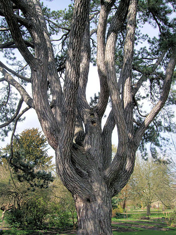 English: Pinus nigra in Oxford Botanical Garde...