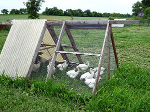 Chickens in the chicken tractor at an organic ...