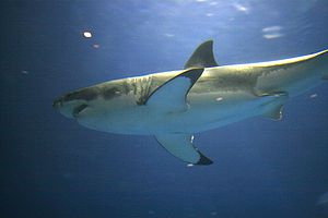 English: Great white shark in captivity in the...