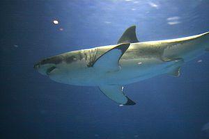 Great white shark in captivity in the Moperey ...