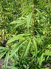 English: An outdoor hemp plantation in the UK....