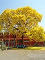 Ipê-amarelo, em Goiânia.