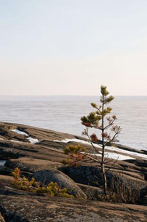 Suomi: Mänty (Pinus sylvestris) kalliolla Repo...