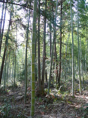 a healthy bamboo forest which is not a monocul...