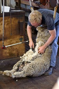 English: shearing a sheep at the Shearing Shed...