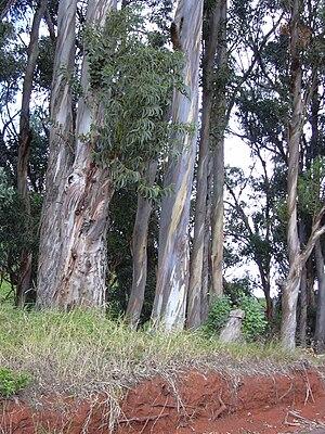 Eucalyptus globulus (habit). Location: Maui, P...
