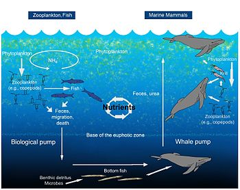 English: An illustration of the oceanic whale ...