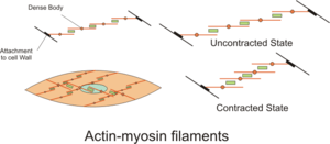 English: Diagram showing Actin-Myosin filament...