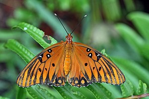 Agraulis vanillae butterfly.