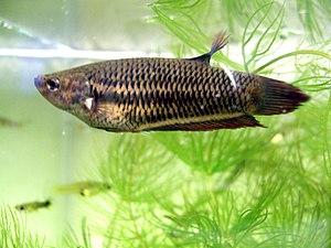 Ein Kampffisch in meinem Aquarium