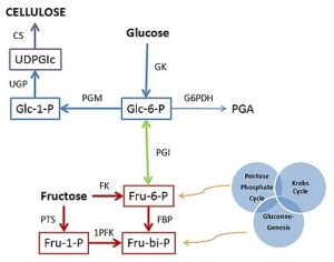 Bacterial cellulose  Wikipedia