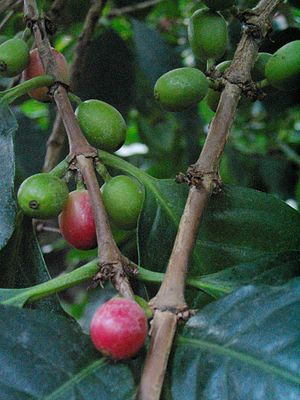 Coffee cherries on coffee plant (Coffea arabica)