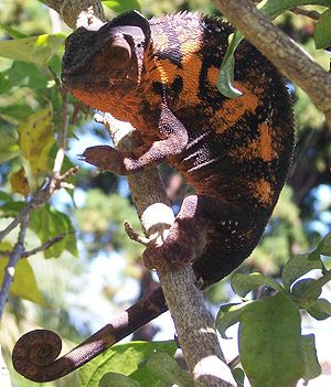 Furcifer pardalis ♀ English: Female panther ch...
