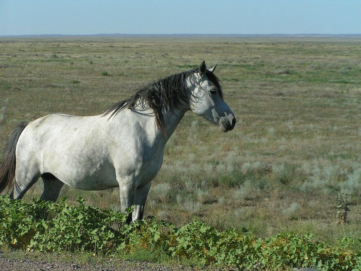 Кінь свійський Вікіпедія