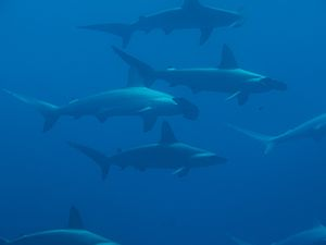 School of scalloped hammerhead sharks (Sphyrna...