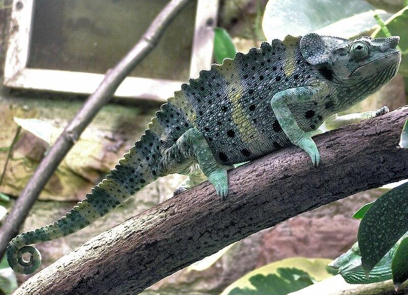 File:Mellers.chameleon.bristol.zoo.arp.jpg