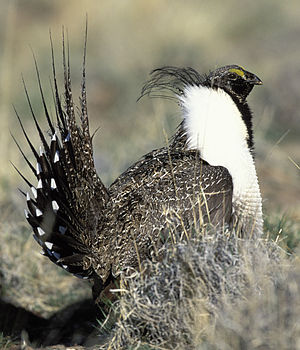 English: Sage Grouse (Centrocercus urophasianus)