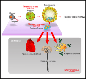 Stem cells diagram rus