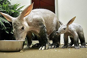 Aardvark and juvenile. Deutsch: Erdferkel mit ...